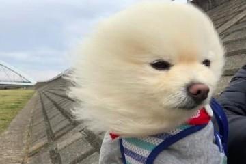 网友带博美去漫步遇到劲风它的毛发都被吹直了狗吹啊吹啊