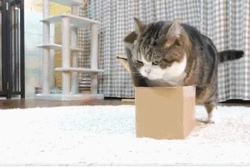 就像是施了魔咒没有一只猫咪能抵御得住纸盒的引诱